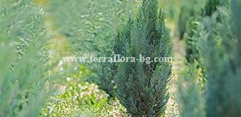 Chamaecyparis lawsoniana)
