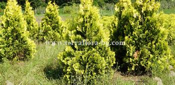 Thuja occ.Europe Gold)