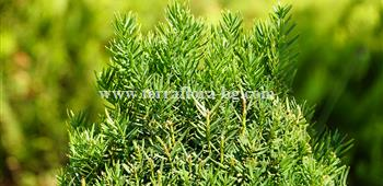 Taxus baccata)