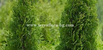Thuja occidentalis Columna)